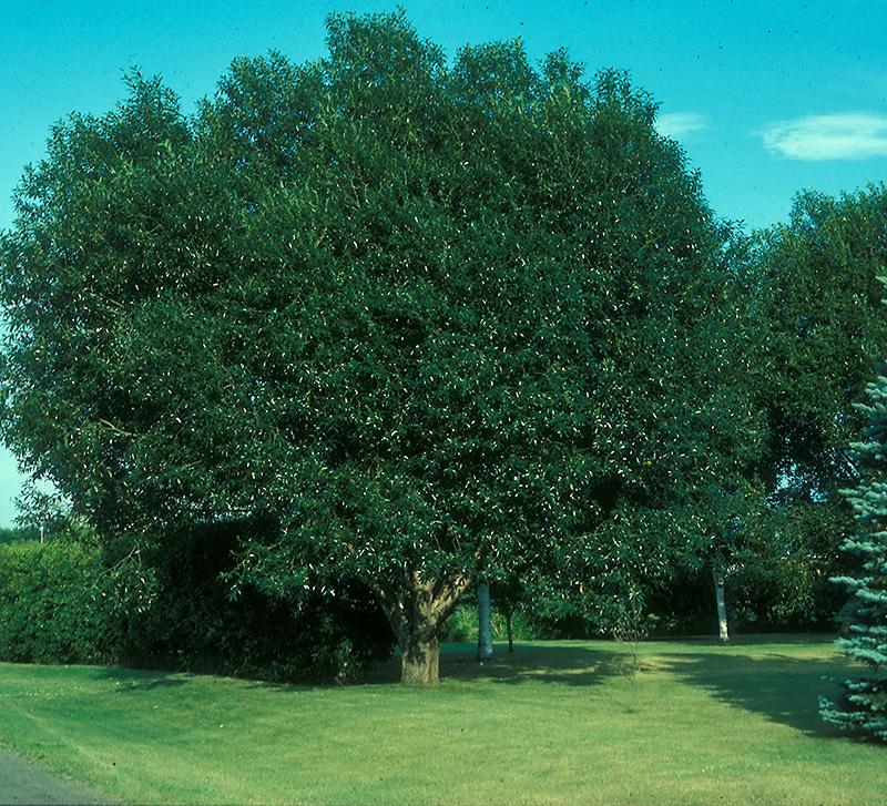 Prairie Reflection Willow (Salix Pentandra 'Silver Lake