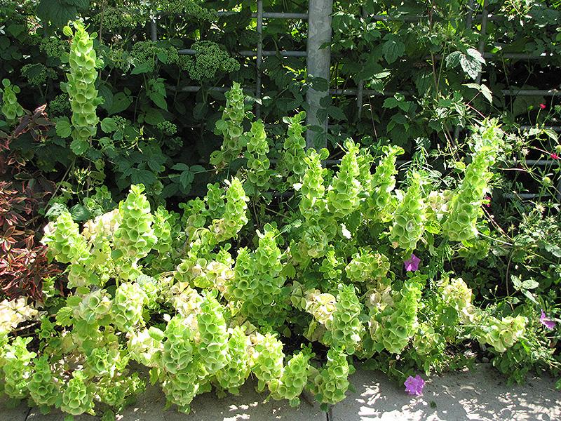 Blooms Garden Centre: Bells Of Ireland (Moluccella Laevis) In Winnipeg Manitoba