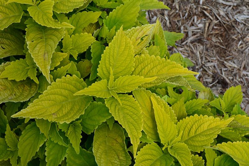 Colorblaze Lime Time Coleus Solenostemon Scutellarioides Lime