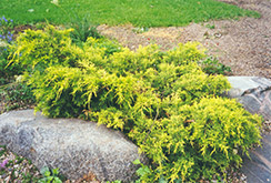 Gold Coast Juniper (Juniperus x media 'Gold Coast') at Ron Paul Garden Centre