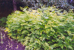 False Spirea (Sorbaria sorbifolia) at Ron Paul Garden Centre