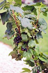Black Currant (Ribes nigrum) at Ron Paul Garden Centre