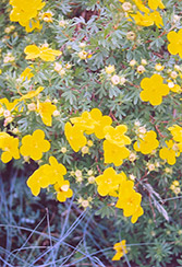 Goldfinger Potentilla (Potentilla fruticosa 'Goldfinger') at Ron Paul Garden Centre
