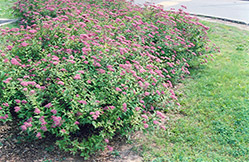 Dart's Red Spirea (Spiraea x bumalda 'Dart's Red') at Ron Paul Garden Centre