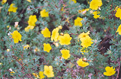 Yellow Gem Potentilla (Potentilla fruticosa 'Yellow Gem') at Ron Paul Garden Centre