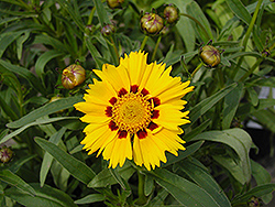 Domino Tickseed (Coreopsis 'Domino') at Ron Paul Garden Centre