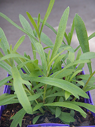 Russian Tarragon (Artemisia dracunculoides) at Ron Paul Garden Centre