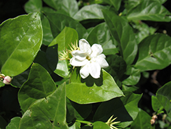 Arabian Jasmine (Jasminum sambac) at Ron Paul Garden Centre