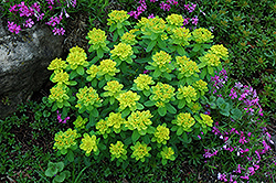Cushion Spurge (Euphorbia polychroma) at Ron Paul Garden Centre