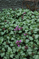 Red Nancy Spotted Dead Nettle (Lamium maculatum 'Red Nancy') at Ron Paul Garden Centre