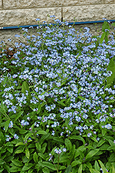 Forget-Me-Not (Myosotis sylvatica) at Ron Paul Garden Centre