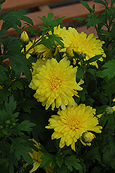 Morden Canary Chrysanthemum (Chrysanthemum 'Morden Canary') at Ron Paul Garden Centre