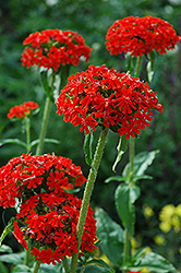 Maltese Cross (Lychnis chalcedonica) at Ron Paul Garden Centre