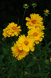 Early Sunrise Tickseed (Coreopsis 'Early Sunrise') at Ron Paul Garden Centre