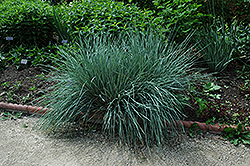 Blue Oat Grass (Helictotrichon sempervirens) at Ron Paul Garden Centre