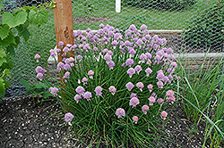 Chives (Allium schoenoprasum) at Ron Paul Garden Centre