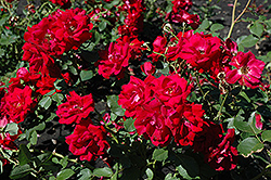 Champlain Rose (Rosa 'Champlain') at Ron Paul Garden Centre