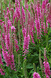 Red Fox Speedwell (Veronica spicata 'Red Fox') at Ron Paul Garden Centre