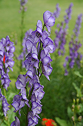 Common Monkshood (Aconitum napellus) at Ron Paul Garden Centre