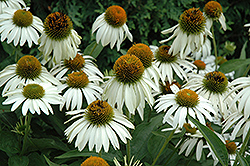 White Swan Coneflower (Echinacea purpurea 'White Swan') at Ron Paul Garden Centre