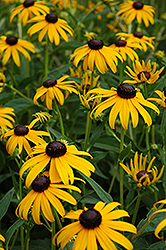Goldsturm Coneflower (Rudbeckia fulgida 'Goldsturm') at Ron Paul Garden Centre