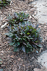 Chocolate Chip Bugleweed (Ajuga reptans 'Chocolate Chip') at Ron Paul Garden Centre
