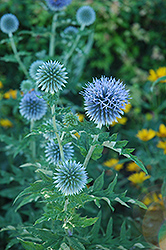 Globe Thistle (Echinops ritro) at Ron Paul Garden Centre