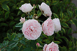 Morden Blush Rose (Rosa 'Morden Blush') at Ron Paul Garden Centre