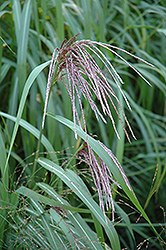 Maiden Grass (Miscanthus sinensis) at Ron Paul Garden Centre