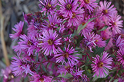 Woods Pink Aster (Aster 'Woods Pink') at Ron Paul Garden Centre