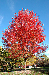 Autumn Blaze Maple (Acer x freemanii 'Jeffersred') at Ron Paul Garden Centre