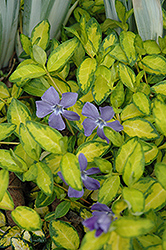Illumination Periwinkle (Vinca minor 'Illumination') at Ron Paul Garden Centre