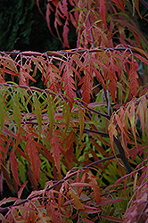 Tiger Eyes® Sumac (Rhus typhina 'Bailtiger') at Ron Paul Garden Centre
