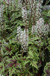 Sugar And Spice Foamflower (Tiarella 'Sugar And Spice') at Ron Paul Garden Centre
