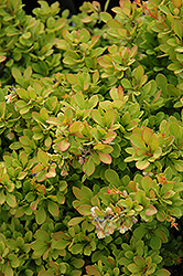 Sunsation Japanese Barberry (Berberis thunbergii 'Sunsation') at Ron Paul Garden Centre