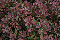 Royal Burgundy Japanese Barberry (Berberis thunbergii 'Gentry') at Ron Paul Garden Centre