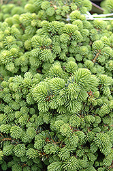 Little Gem Spruce (Picea abies 'Little Gem') at Ron Paul Garden Centre