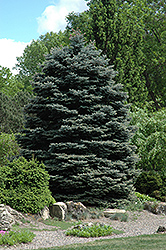 Fat Albert Blue Spruce (Picea pungens 'Fat Albert') at Ron Paul Garden Centre