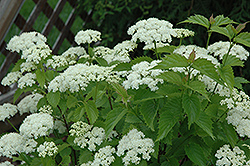 Blue Muffin® Viburnum (Viburnum dentatum 'Christom') at Ron Paul Garden Centre