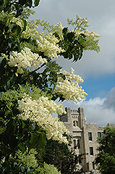Ivory Silk Japanese Tree Lilac (Syringa reticulata 'Ivory Silk') at Ron Paul Garden Centre