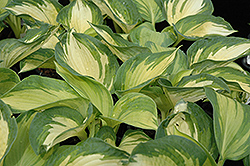 June Hosta (Hosta 'June') at Ron Paul Garden Centre