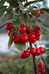 Evans Cherry (Prunus 'Evans') at Ron Paul Garden Centre