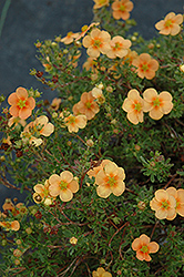 Orange Whisper Potentilla (Potentilla fruticosa 'Orange Whisper') at Ron Paul Garden Centre