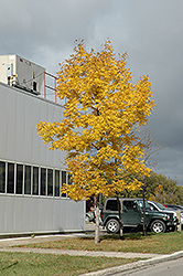 Fallgold Black Ash (Fraxinus nigra 'Fallgold') at Ron Paul Garden Centre
