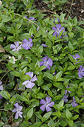 Common Periwinkle (Vinca minor) at Ron Paul Garden Centre