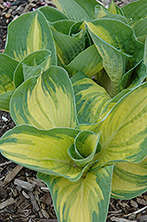 Great Expectations Hosta (Hosta 'Great Expectations') at Ron Paul Garden Centre