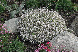 Creeping Baby's Breath (Gypsophila repens) at Ron Paul Garden Centre