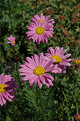 Robinson's Pink Painted Daisy (Tanacetum coccineum 'Robinson's Pink') at Ron Paul Garden Centre