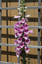 Common Foxglove (Digitalis purpurea) at Ron Paul Garden Centre