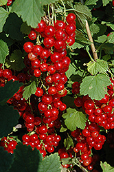 Red Lake Red Currant (Ribes sativum 'Red Lake') at Ron Paul Garden Centre